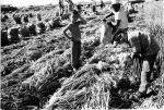 (210) Child Labor, Field Work, California,  c. 1960s
