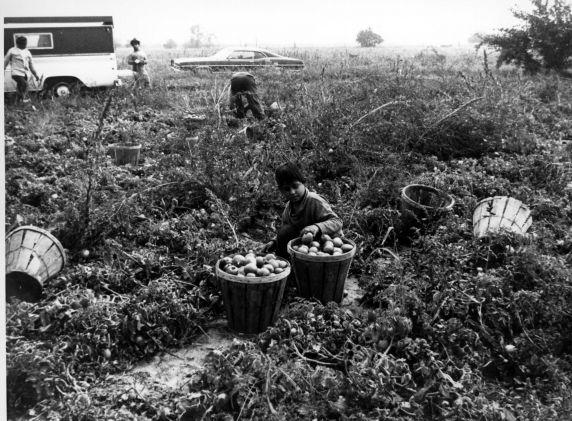 (342) Children work alongside adults in the fields